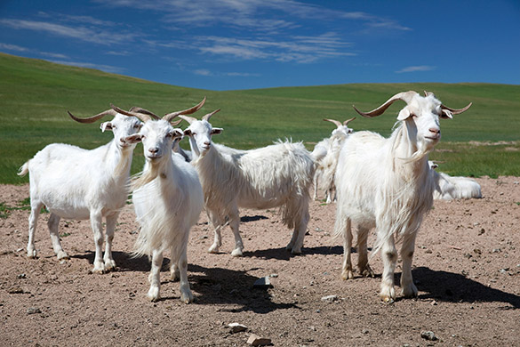 Año 2015: el año chino de la Cabra de Madera